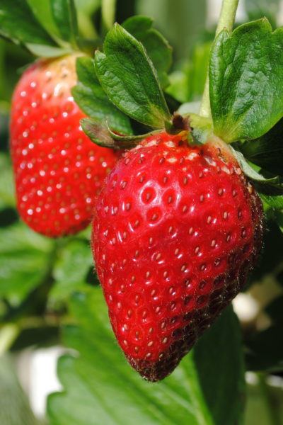 Hydroponic Strawberry Pickin' and an Intro to ANDI