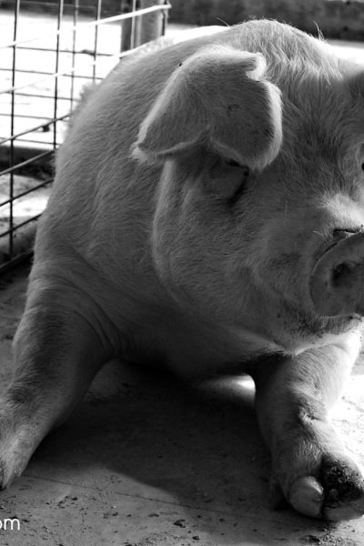 How to Buy a Pig Share