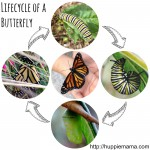 Life Cycle of a Butterfly …in my front yard!
