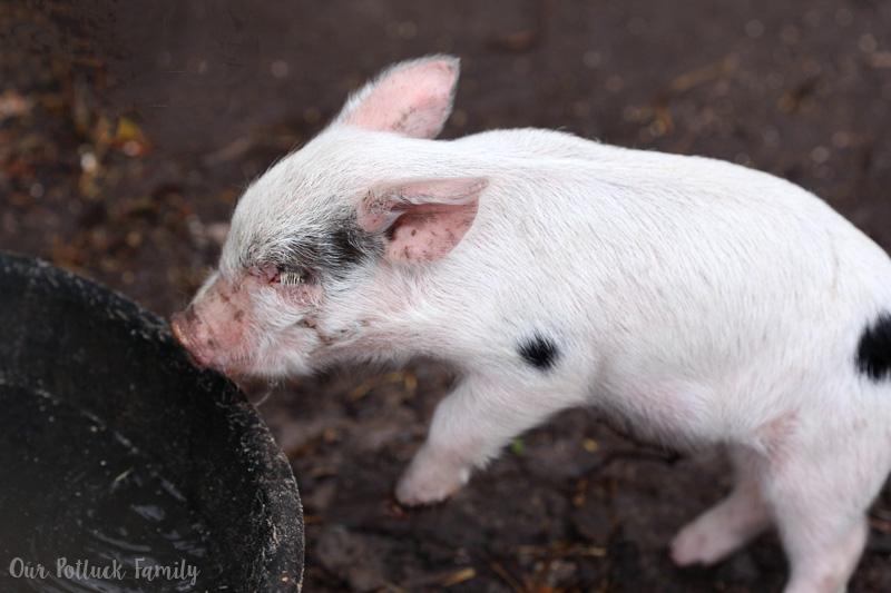 baby-piglet
