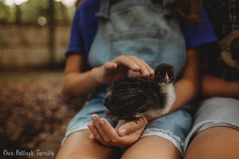 Raise Baby Chicks close-up