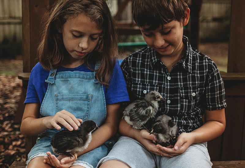 Raise Baby Chicks three